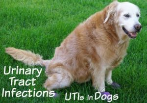 UTIs-in-Dogs-URINARY-TRACT-INFECTIONS